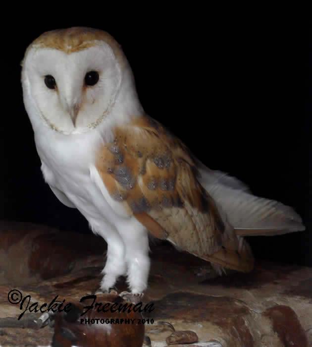 Barn Owl  amp Screech ...