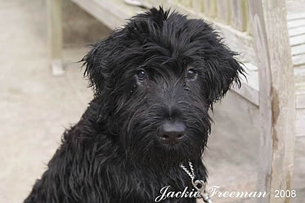 Aussiedoodle Falmouth.
