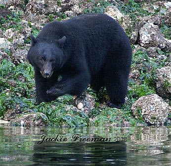 Black Bear, Ucluelet  Vancouver Island.