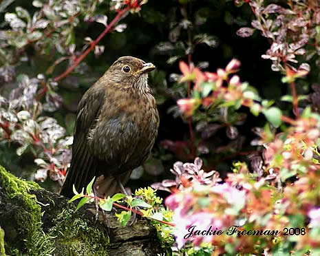 Female Blackbird Winkleigh.