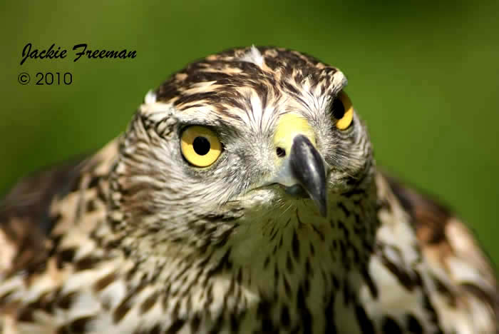 Male Juvenile Northern Goshawk.