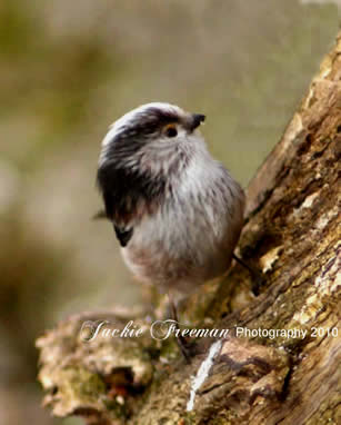 Young Long Tailed Tit.
