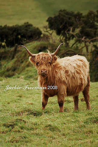 Highland Cattle, Bodmin Moor.